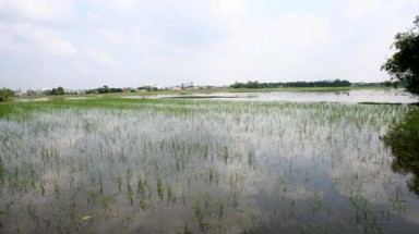 HCM City: Industrial production drives rice fields to death